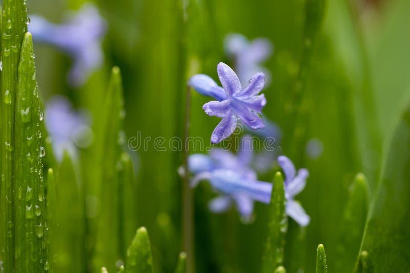 Belle fleur bleue fraîche et jeune dans des baisses de rosée photo stock