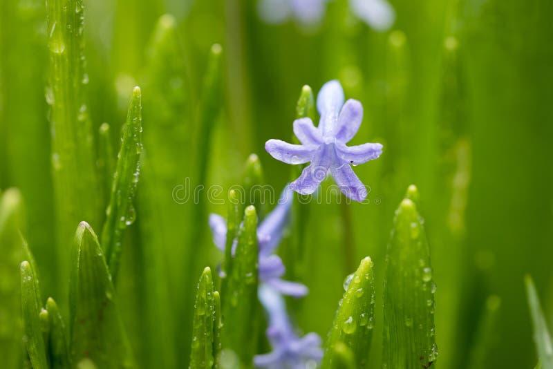 Belle fleur bleue fraîche et jeune dans des baisses de rosée image libre de droits
