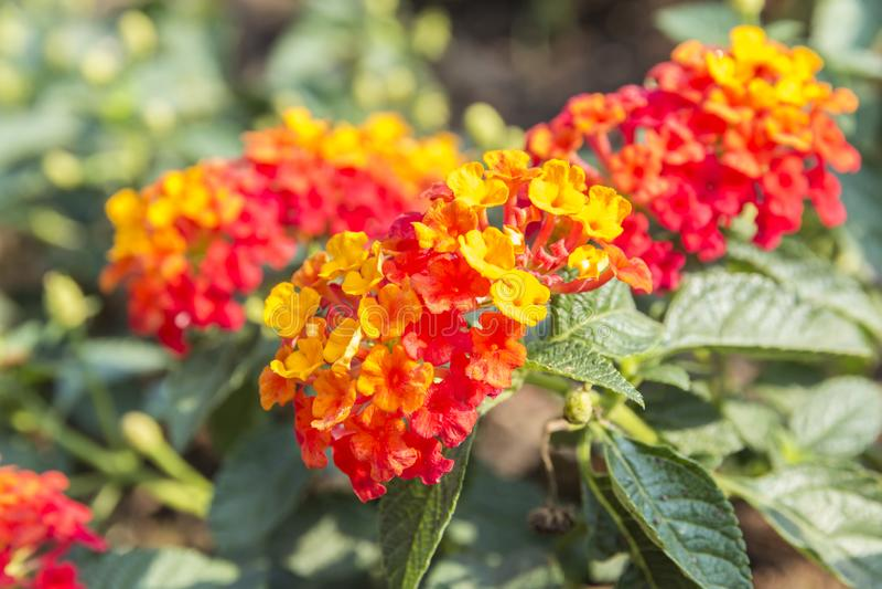 Belle fleur color?e de haie, Lantana pleurant, camara Linn de Lantana image stock