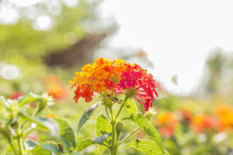 Belle fleur color?e de haie, Lantana pleurant, camara Linn de Lantana images stock