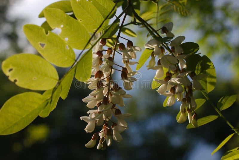 Belle fleur d'acacia dans la lumière de coucher du soleil photo libre de droits