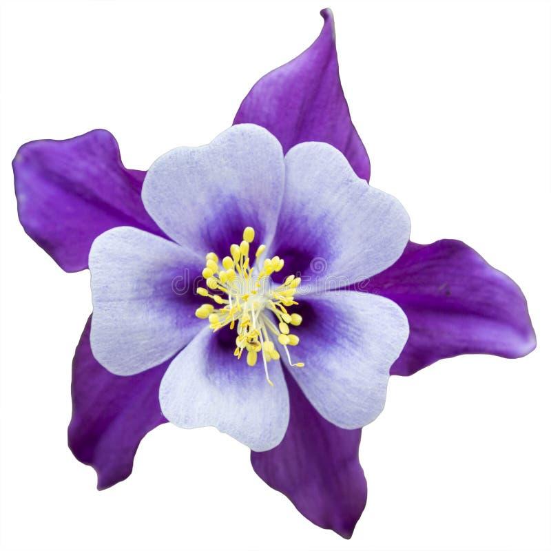 Belle fleur d'ancolie photographie stock libre de droits