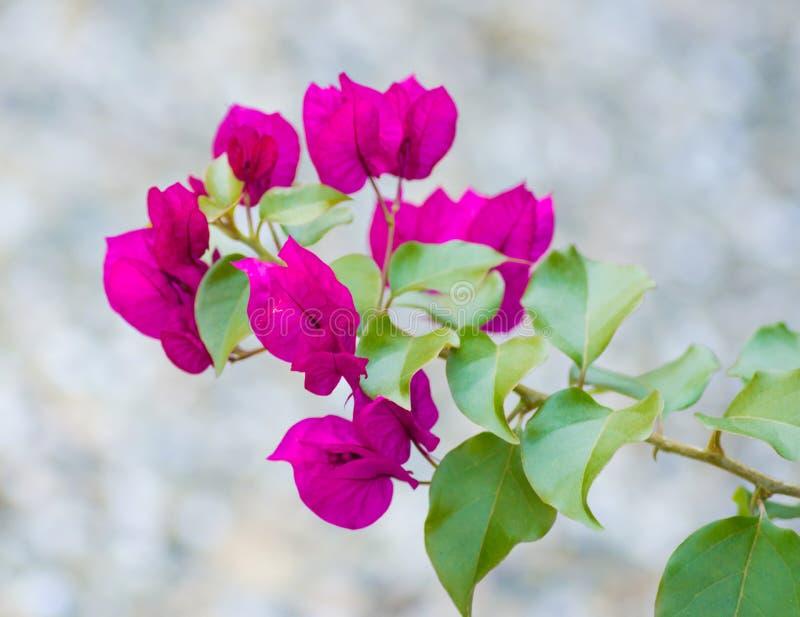 Belle fleur de bouganvillée image stock