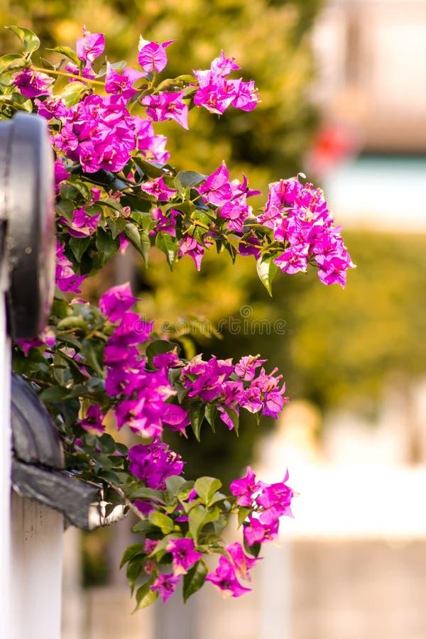 Belle fleur de bouganvillée photographie stock libre de droits