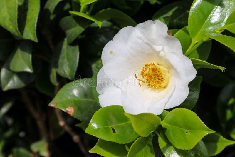 Belle fleur de camélia dans le jardin photographie stock libre de droits