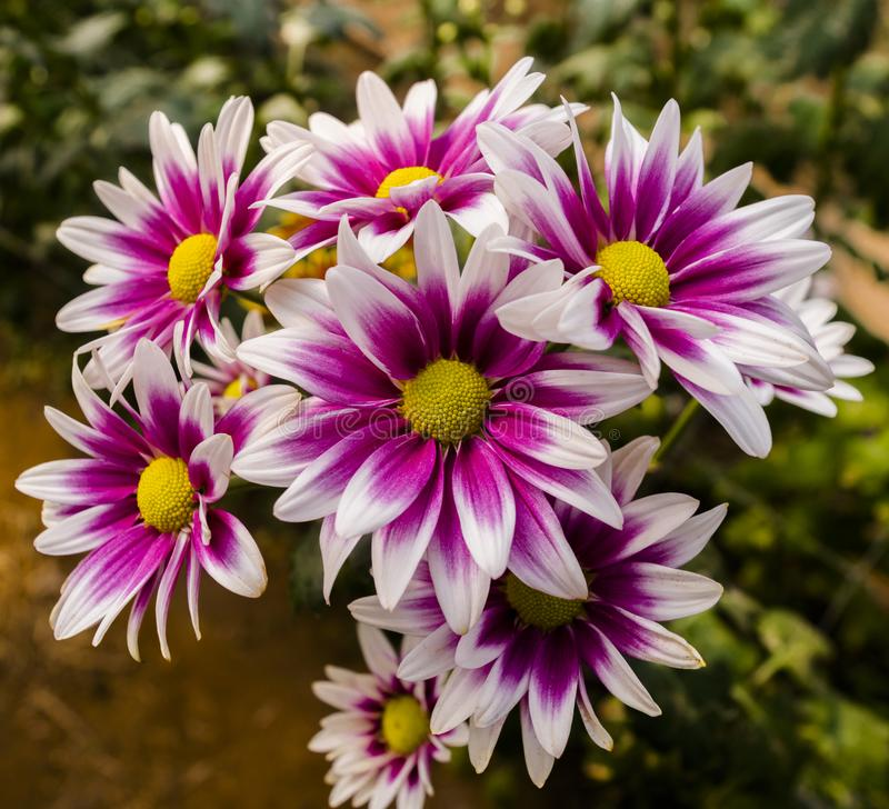 Belle fleur de chrysanthème de vue supérieure images libres de droits