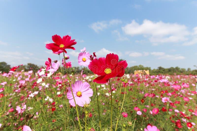 Belle fleur de cosmos image stock