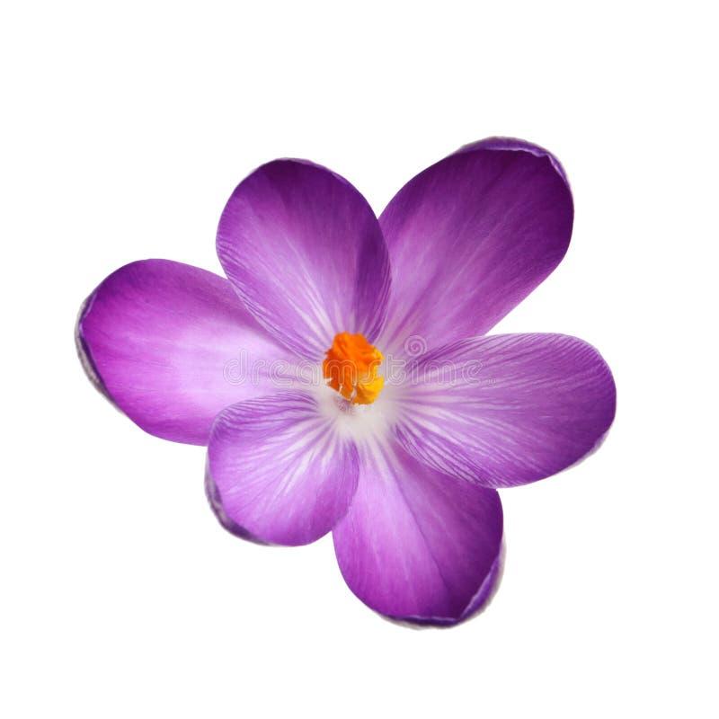 Belle fleur de crocus de ressort image stock