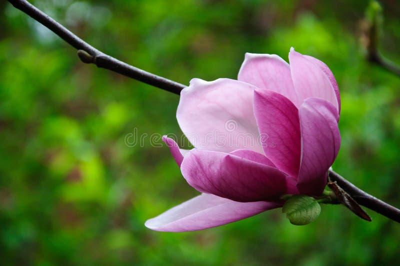 Belle fleur de floraison de magnolia photo libre de droits