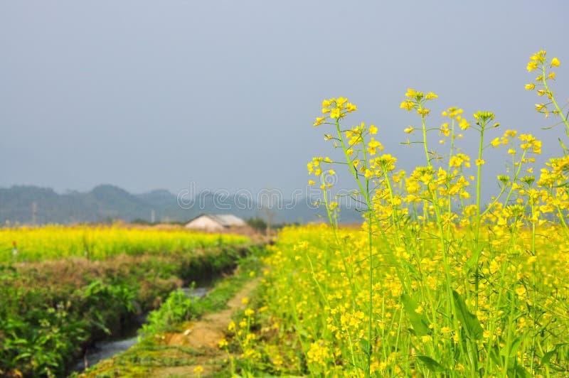 Belle fleur de floraison de viol au printemps photos libres de droits