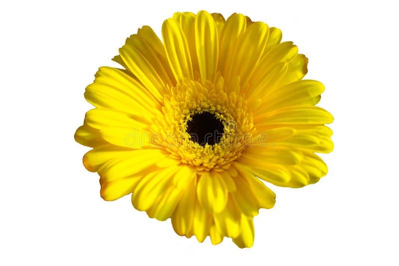 Belle fleur de gerbera de marguerite d'isolement sur le fond blanc photo stock