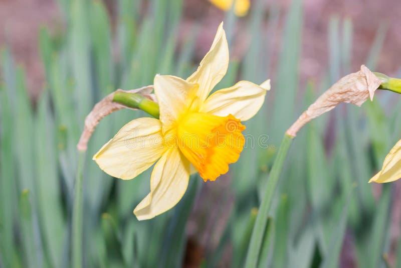 Belle fleur de jaune (de jacq d'aleppicum de geum) photo libre de droits