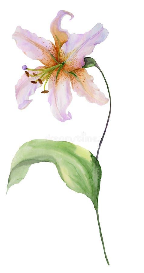 Belle fleur de lis sur une tige avec des feuilles et des bourgeons de vert Peinture d'aquarelle Peint à la main D'isolement sur l illustration de vecteur