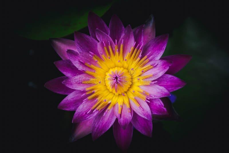 Belle fleur de lotus avec des feuilles photos stock