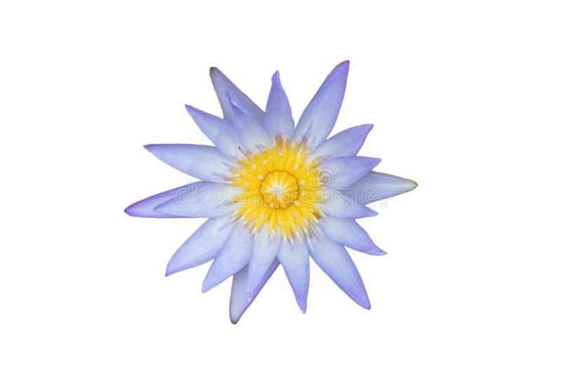 Belle fleur de lotus dans l'étang Nénuphar d'isolement sur le fond blanc images libres de droits