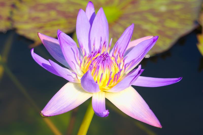 Belle fleur de lotus pourpre simple, avec le centre jaune, dans un beau petit étang en parc thaïlandais photographie stock