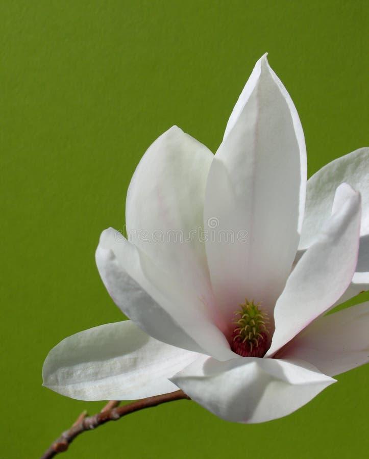 Belle fleur de magnolia photographie stock libre de droits