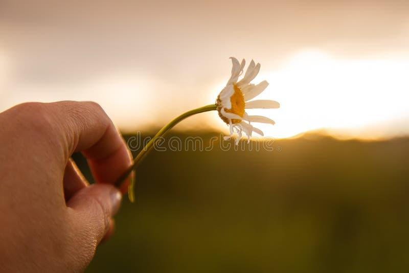 Belle fleur de marguerite dans la lumière de coucher du soleil Fond mou de nature de foyer photographie stock libre de droits
