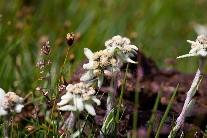 Belle fleur de montagne d'Edelweiss photo libre de droits