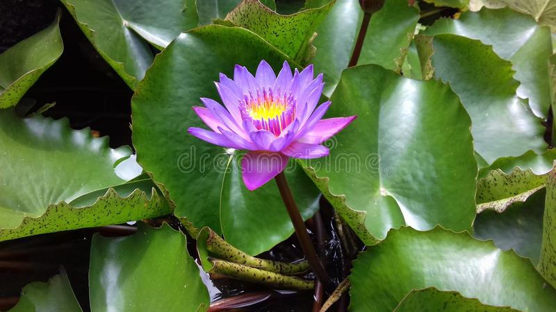 Belle fleur de nation du Sri Lanka images stock