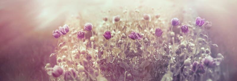 Belle fleur de pavot, coucher du soleil dans le pré des fleurs de pavot photographie stock libre de droits