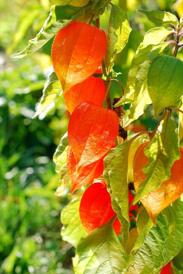 Belle fleur de physalis dans le jardin photographie stock