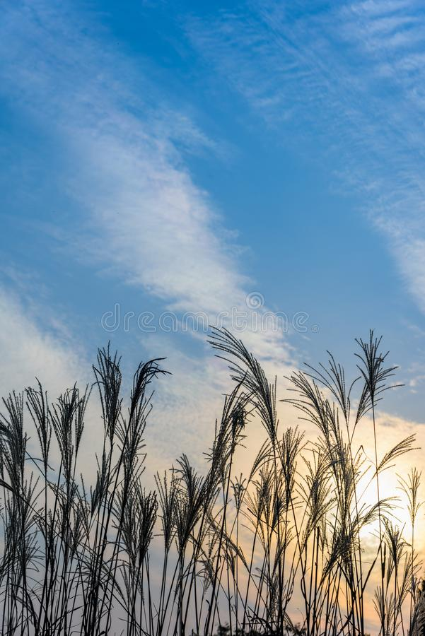 Belle fleur de Reed photos libres de droits