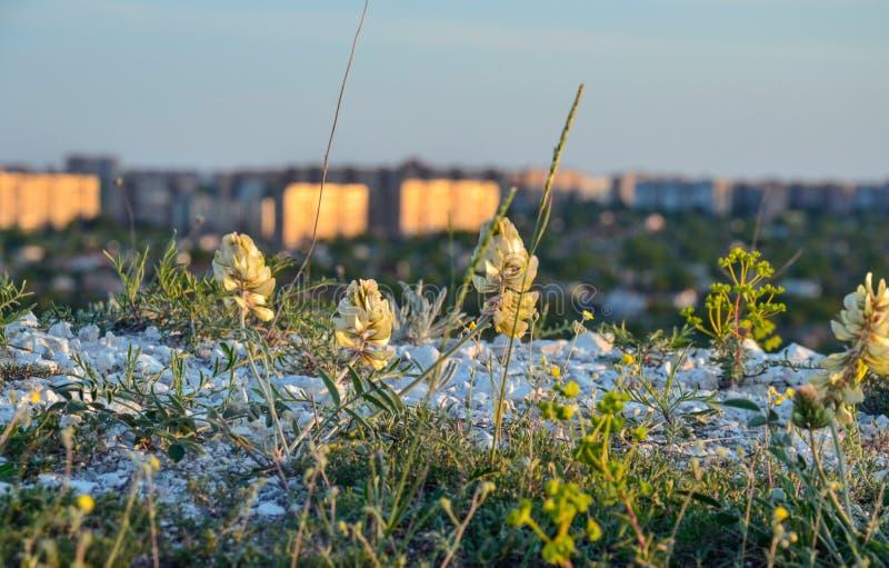 Belle fleur de ressort sur le pré contre le ciel bleu et la ville photo stock