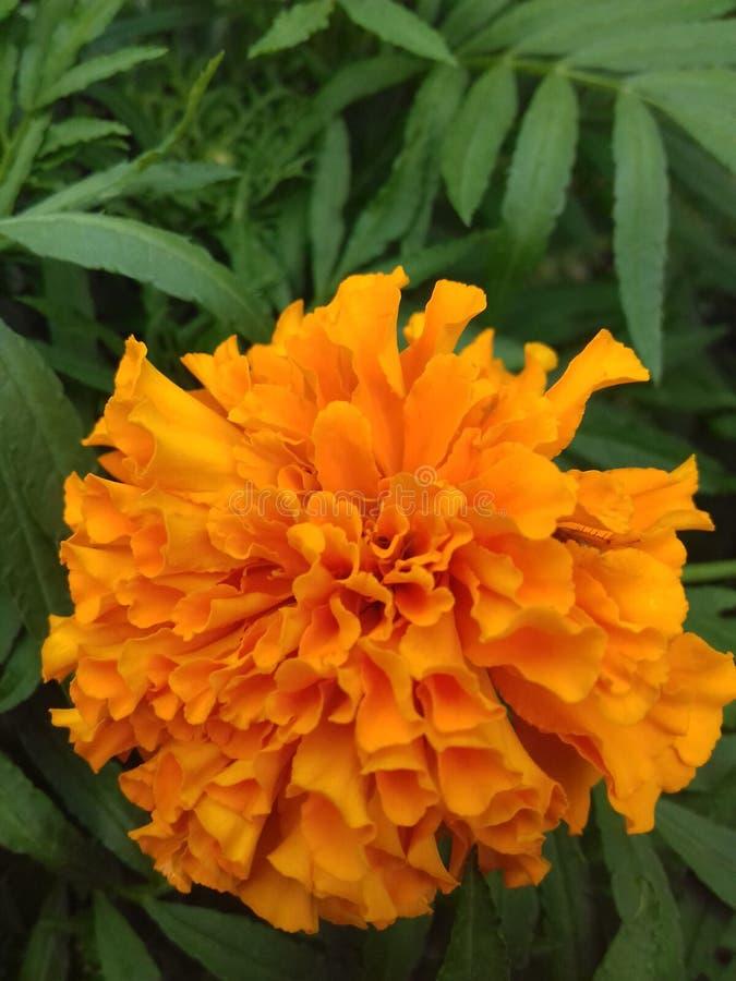 Belle fleur de souci avec le fond vert images stock