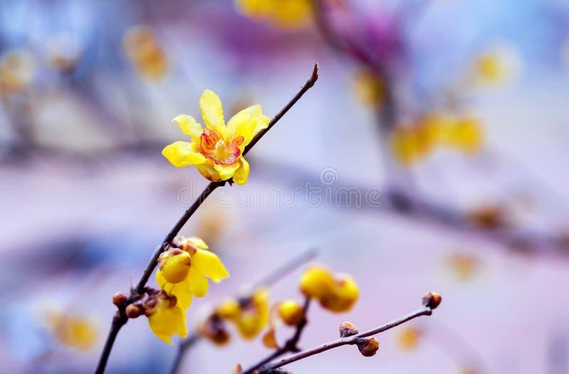 Belle fleur de wintersweet image libre de droits