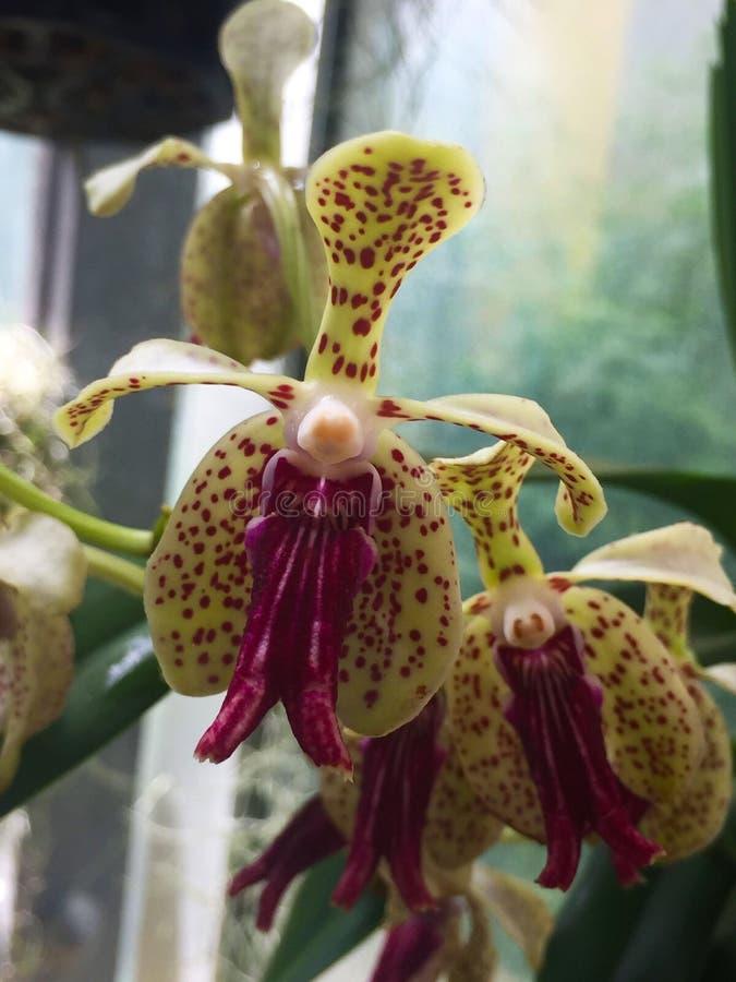 Belle fleur intense d'orchidée image libre de droits