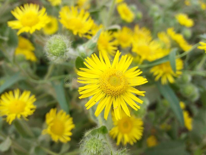 Belle fleur jaune photos libres de droits