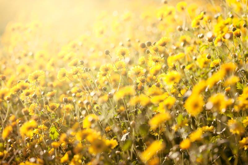 Belle fleur jaune de chrysanthème dans le domaine image libre de droits