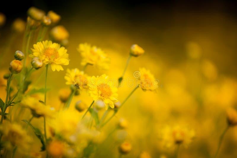 Belle fleur jaune de chrysanthème dans le domaine image stock