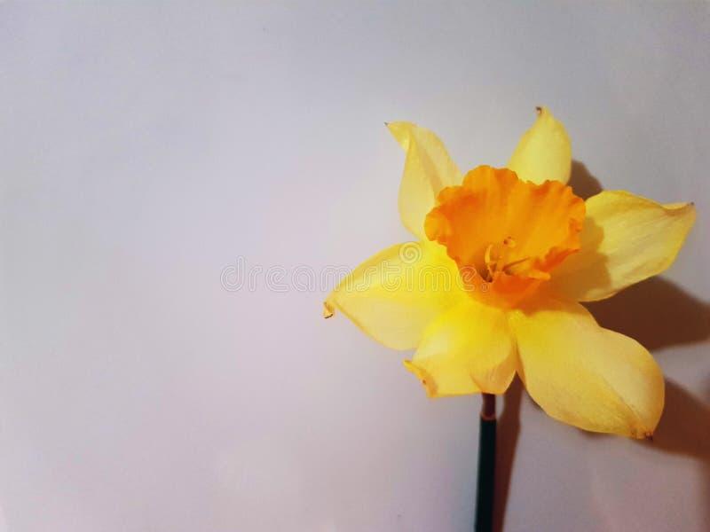 Belle fleur jaune de lis d'isolement sur le fond blanc image stock