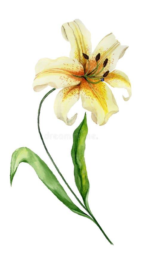 Belle fleur jaune de lis sur une tige avec les feuilles vertes Peinture d'aquarelle Fond floral abstrait Peint à la main illustration libre de droits