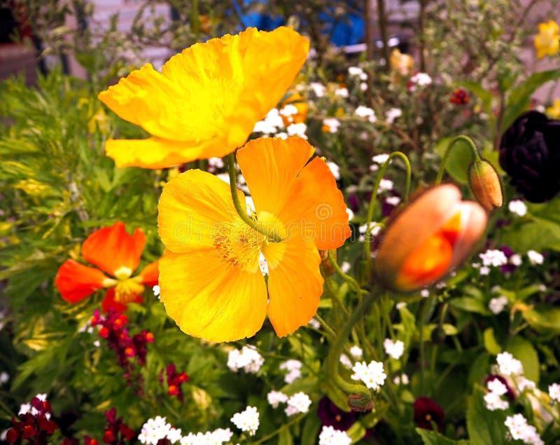 Belle fleur jaune de pavot sur un fond brouillé Macro, fond d'été de ressort images libres de droits