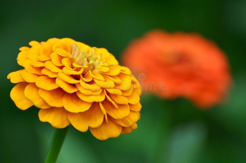 Belle fleur jaune de zinnia photographie stock libre de droits