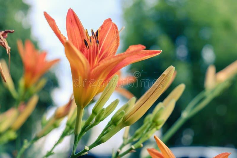 Belle fleur lilly de fond orange vacances de nature photo libre de droits