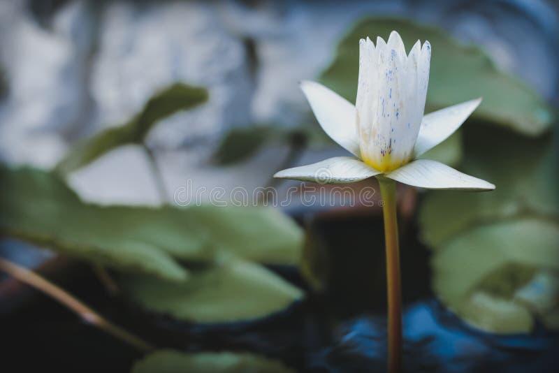 Belle fleur Lotus blanc dans l'étang image stock