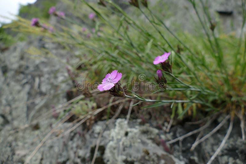 Belle fleur minuscule sur une roche image stock