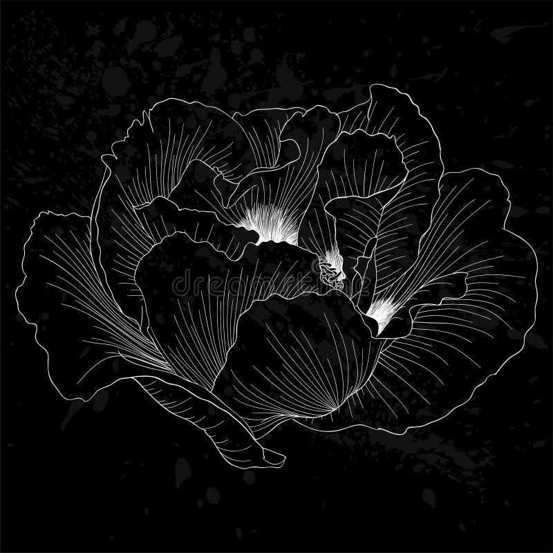 Belle fleur noire et blanche monochrome d'arborea de Paeonia d'usine (pivoine d'arbre) d'isolement illustration de vecteur