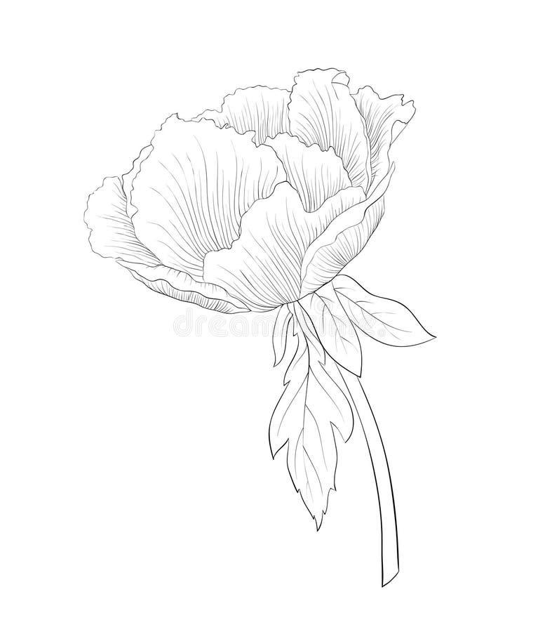 Belle fleur noire et blanche monochrome d'arborea de Paeonia d'usine (pivoine d'arbre) d'isolement sur le fond blanc illustration de vecteur