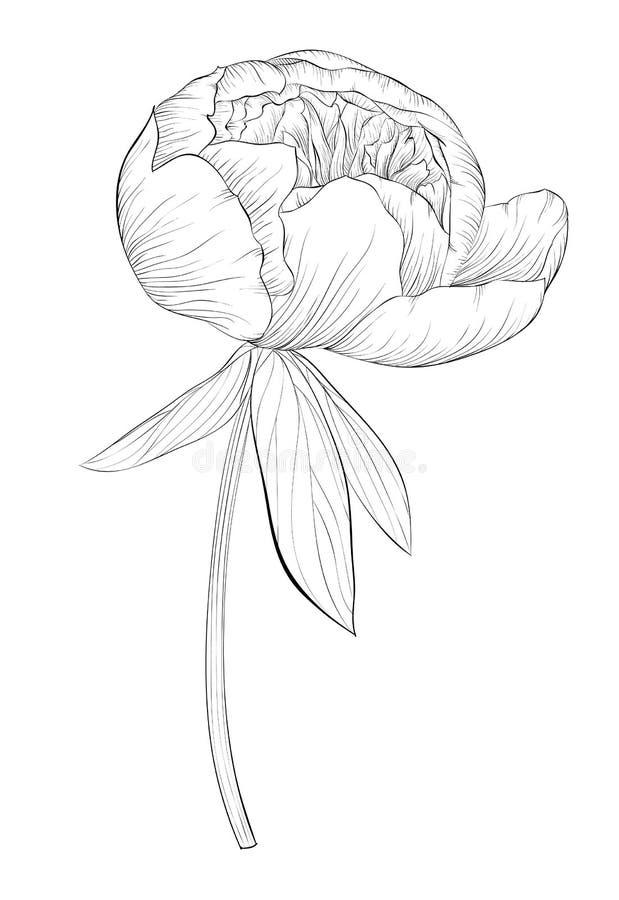 Belle fleur noire et blanche monochrome de pivoine d'isolement sur le fond blanc illustration de vecteur