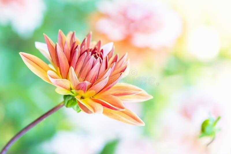 Belle fleur orange de dahlia sur un fond clair Copiez l'espace photos libres de droits