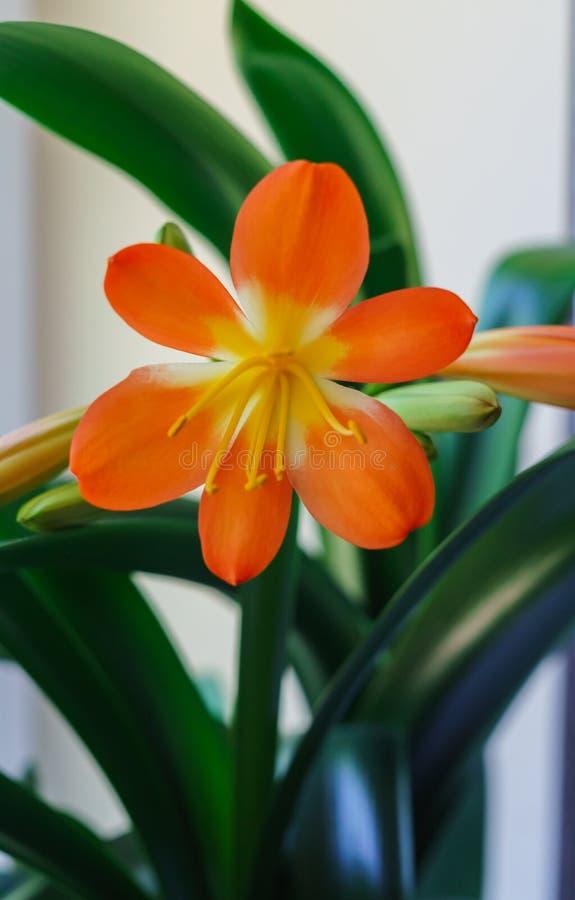 Belle fleur orange fleurie de Clive sur le rebord de fenêtre image libre de droits