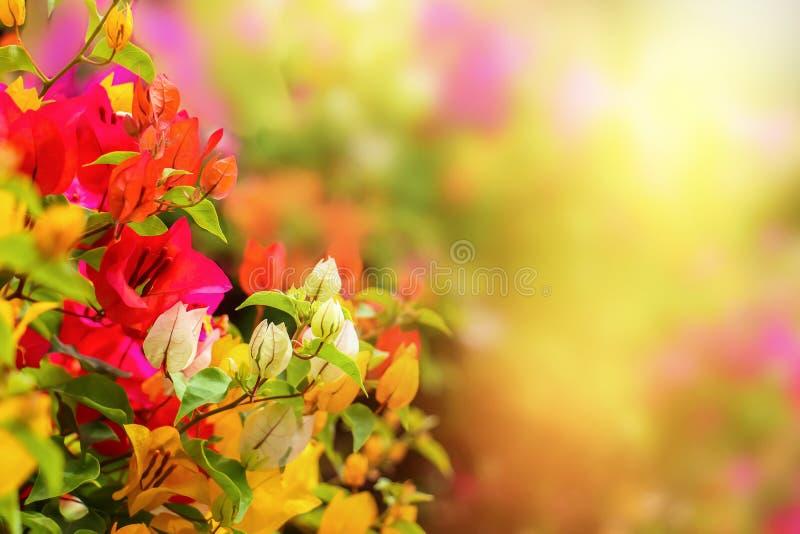Belle fleur ou Fuengfah de bouganvillée coloré avec le sunshin images stock