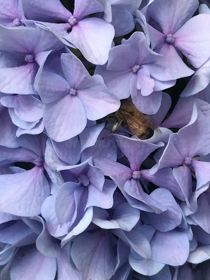 Belle fleur pourpre avec l'abeille rassemblant le pollen image libre de droits