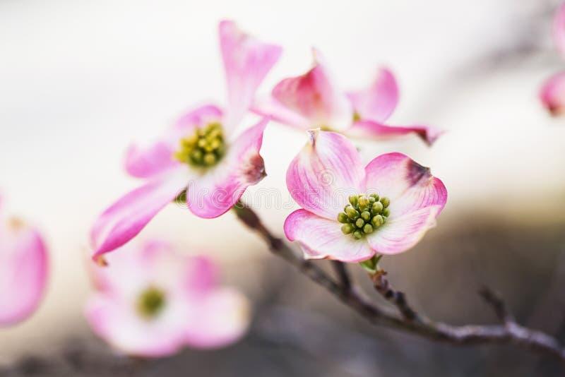 Belle fleur rose de fleur d'arbre de cornouiller photos libres de droits