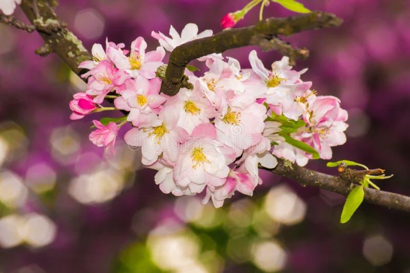 Belle fleur rose de fleur de pomme Orientation molle image libre de droits